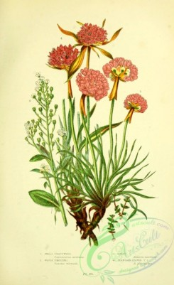 british_plants-00104 - 016-Small Chaffweed, Water Pimpernel, Thrift, Plantain leaved Thrift, centunculus minimus, samolus valerandi, armeria maritima, armeria plantaginea