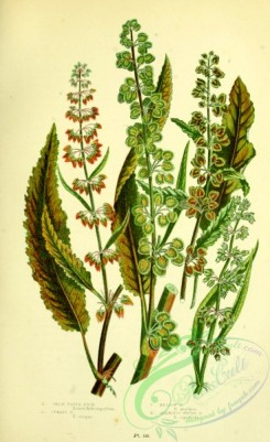 british_plants-00117 - 029-Great Water Dock, Curled Dock, Meadow Dock, Grainless Water Dock, rumex hydrolapathum, rumex crispus, rumex pratensis, rumex aquaticus