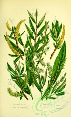 british_plants-00128 - 040-Common White Willow, Yellow Willow or Golden Osier, Dark Long leaved Willow, Rosemary leaved Willow, salix alba, salix vitellina, salix petiolaris, salix rosmarinifolia