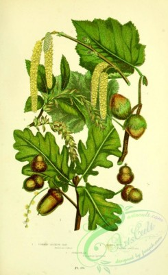 british_plants-00134 - 046-Common British Oak, Hazel Nut, Hornbeam, Quercus robur, corylus avellana, carpinus betulus