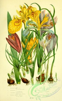 british_plants-00141 - 053-Yellow Water Iris, Stinking Iris, Columnas Trichonema, Purple Spring Crocus, Least Spring Crocus, Golden Crocus, Saffron Crocus, Na