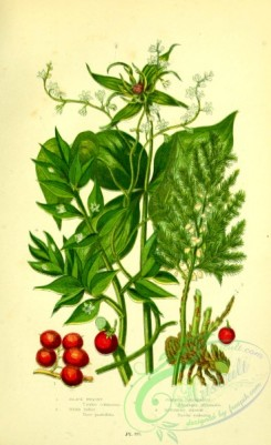 british_plants-00143 - 055-Black Bryony, Herb Paris, Common Asparagus, Butchers Broom, tamus communis, paris quadrifolia, asparagus officinalis, ruscus aculeatus