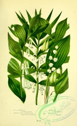 british_plants-00144 - 056-Lily of Valley, Narrow-leaved Solomon's Seal, Common Solomon's Seal, Angular Solomon's Seal, convallaria majalis, polygonatum verticillatum, polygonatum multiflorum, polygonatum officinale