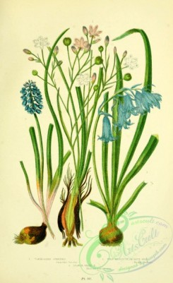 british_plants-00145 - 057-Variegated Simethis, Wild Hyacinth or Blue-Bell, Starch Grape Hyacinth, simethis bicolor, scilla nutans, muscari racemosum
