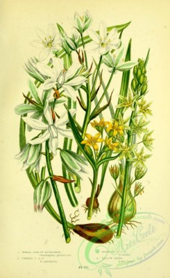 british_plants-00148 - 060-Spiked Star-of-Bethlehem, Common Star-of-Bethlehem, Drooping Star-of-Bethlehem, Yellow Gagea, ornithogalum pyrenaicum, ornithogalum umbellatum, ornithogalum nutans, gagea lutea
