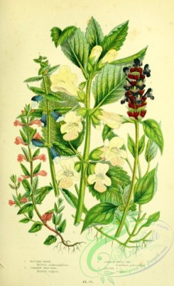 british_plants-00155 - 067-Bastard Balm, Common Self Heal, Common Skull Cap, Lesser Skull Cap, melittis melissophyllum, prunella vulgaris, scutellaria galericulata, scutellaria minor