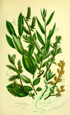 british_plants-00160 - 072-Little Tree Willow, Dons Willow, Dwarf Silky Willow, Ambiguous Willow, salix angustifolia, salix doniana, salix fusca, salix ambigua