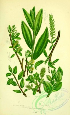 british_plants-00161 - 073-Tea-leaved Willow, Small Tree Willow, Green Whortle-leaved Willow, salix phylicifolia, salix arbuscula, salix myrsinites