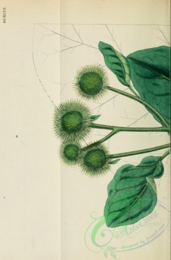 burdock-00001 - Greater Burdock, arctium majus, 1