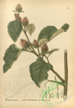 burdock-00011 - lappa officinalis major
