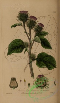 burdock-00019 - Common Burdock, arctium lappa