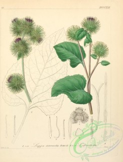 burdock-00035 - lappa intermedia, lappa officinalis
