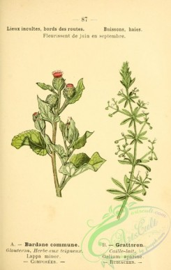 burdock-00039 - lappa minor, galium aparine