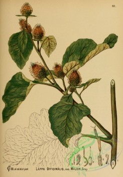 burdock-00045 - lappa officinalis major