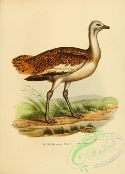 bustards-00001 - Great Bustard