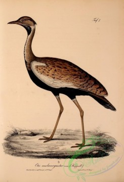 bustards-00008 - Black-bellied Bustard