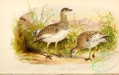 bustards-00018 - Little Bustard