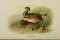 bustards-00033 - LITTLE BUSTARD
