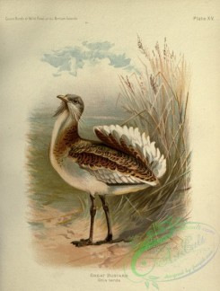bustards-00039 - Great Bustard, otis tarda
