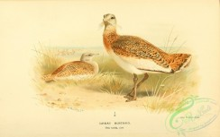 bustards-00046 - Great Bustard, otis tarda