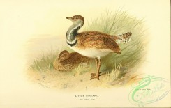 bustards-00048 - Little Bustard, otis tetrax