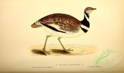 bustards-00053 - Little Bustard