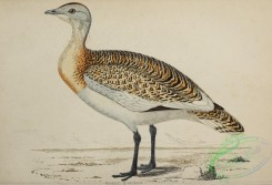 bustards-00054 - Great Bustard
