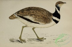 bustards-00055 - Little Bustard