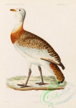 bustards-00063 - Great Bustard