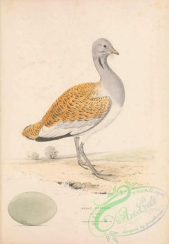 bustards-00072 - Great Bustard, otis tarda