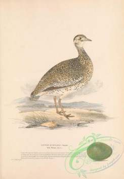 bustards-00073 - Little Bustard, otis tetrax