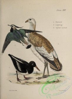 bustards-00074 - Bustard, Lapwing, Oyster-catcher