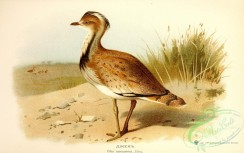 bustards-00078 - otis macqueeni