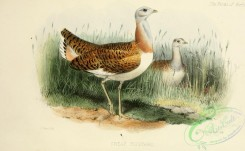 bustards-00081 - Great Bustard