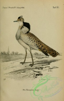 bustards-00082 - otis macqueeni