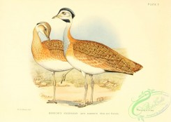 bustards-00083 - Barrow's Knorhaan, otis barrovii