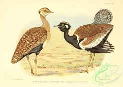 bustards-00092 - White-quilled Knorhaan, otis afroides
