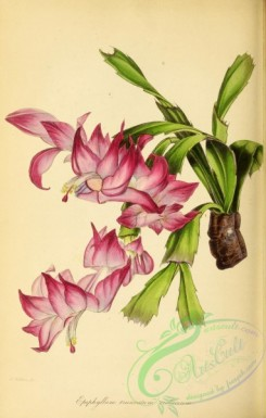 cacti_flowers-00213 - Violaceous-flowered Truncated-stemmed Epiphyllum, epiphyllum truncatum violaceum [2875x4512]
