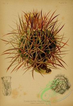 cacti_flowers-00223 - Many-headed Hedgehog Cactus, echinocactus polycephalus [1994x2882]