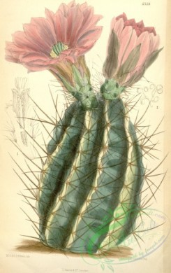 cacti_flowers-00324 - 6533-cereus fendleri [2207x3511]