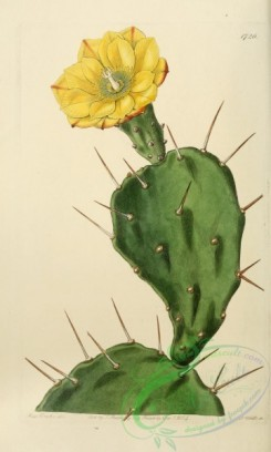 cacti_flowers-00394 - 1726-opuntia monacantha, One-spined Opuntia [2125x3534]