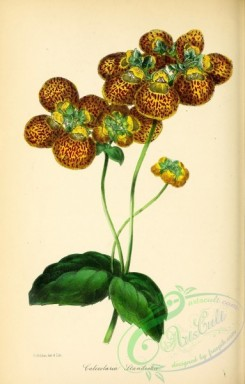 calceolaria-00001 - Mr Standish's Slipper-wort, calceolaria standishii [2837x4442]