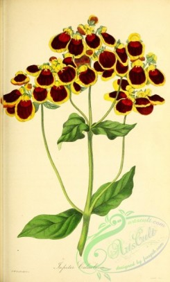 calceolaria-00012 - Jupite Calceolaria or Slipper-wort, calceolaria corymbosa jupiter [2716x4503]