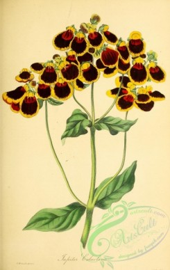 calceolaria-00015 - Jupite Calceolaria or Slipper-wort, calceolaria corymbosa jupiter [2801x4433]