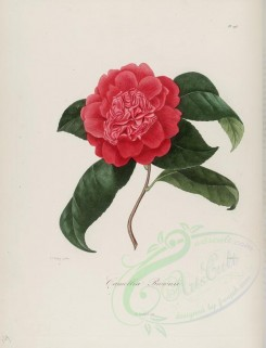 camellias_flowers-00110 - camellia brownii [2900x3797]
