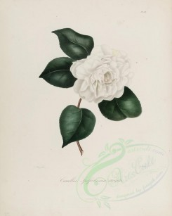 camellias_flowers-00189 - camellia spoffortiana striata [2900x3630]
