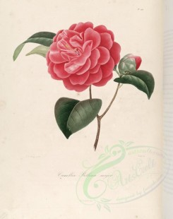 camellias_flowers-00216 - camellia bellina major [3005x3801]