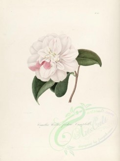 camellias_flowers-00301 - camellia walter frederic campbell [2749x3665]