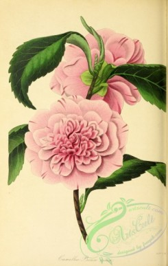 camellias_flowers-00347 - Press's Double Rose-coloured Camellia, camellia pressii rosea [2860x4511]