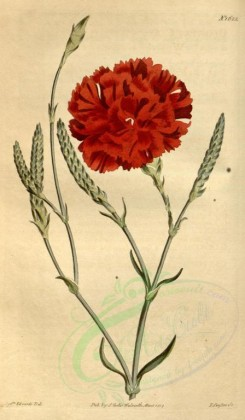 carnation-00006 - 1622-dianthus caryophyllus imbricatus, Wheat-ear Carnation [1869x3204]